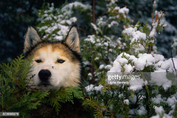 sled dog and cedar branches - boundary waters canoe area stock pictures, royalty-free photos & images