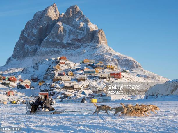 Sled dog during winter in Uummannaq in the north west of Greenland a dog team with fishermen leaving the frozen harbour Dog teams are still draft...