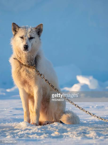 Sled dog during winter in Uummannaq in the north west of Greenland Dog teams are still draft animals for the fishermen of the villages and stay all...