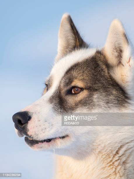 Sled dog during winter in Uummannaq in the north west of Greenland Dog teams are still draft animals for the fishermen of the villages North America...