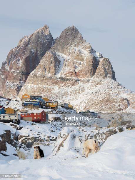 Sled dog during winter in Uummannaq in the north west of Greenland Dog teams are still draft animals for the fishermen of the village North America...