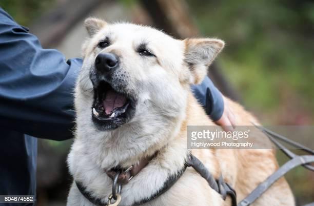 sled dog howl - highlywood - fotografias e filmes do acervo