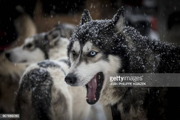 A sled dog is seen ahead of the start of the 14th edition of La Grande Odyssee sledding race across the Alps on January 20 in Val Cenis Lanslevillard...