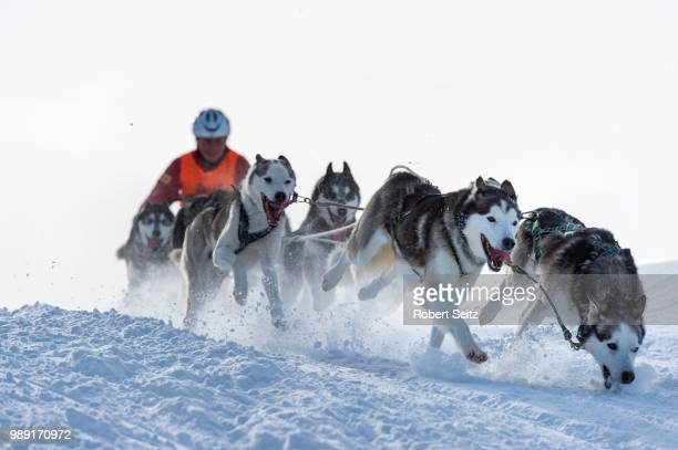 sled dog racing, sled dog team in winter landscape, unterjoch, oberallgaeu, bavaria, germany - dog sledding stock-fotos und bilder