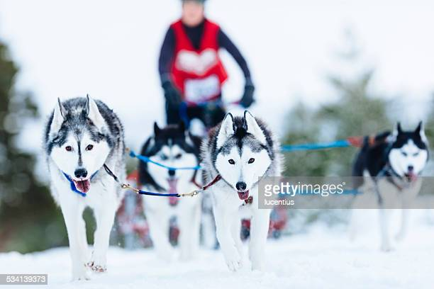 Sled Dog Rally, Aviemore