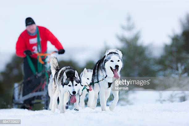 sled dog rally, aviemore - dog sledding stock photos and pictures