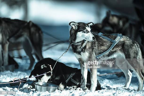 sled dog standing in snow - iditarod stock pictures, royalty-free photos & images