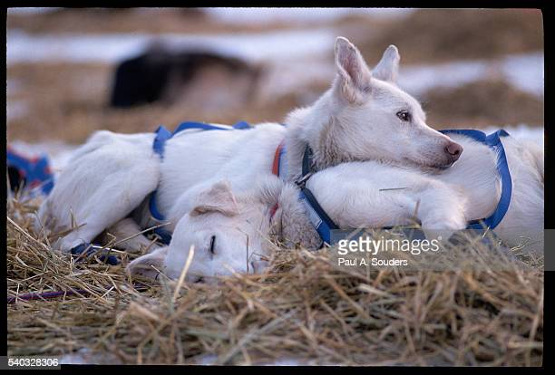sled dogs at rest during iditarod race - iditarod stock pictures, royalty-free photos & images