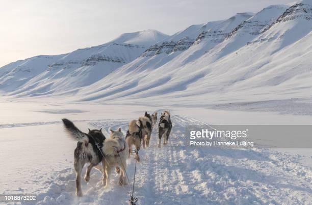 sled dogs at work in a beautiful valley on svalbard - dog sledding stock photos and pictures