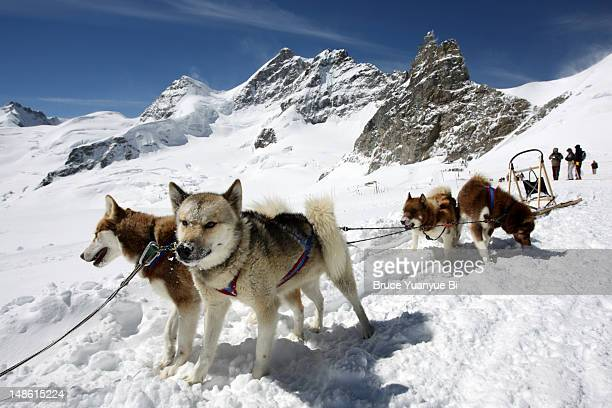 Sled dogs in Ski and Snowboard Park.