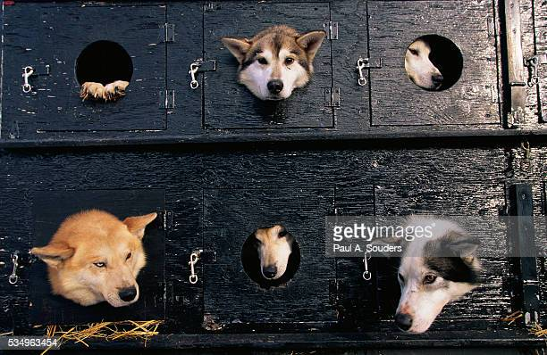 sled dogs in truck - iditarod stock pictures, royalty-free photos & images