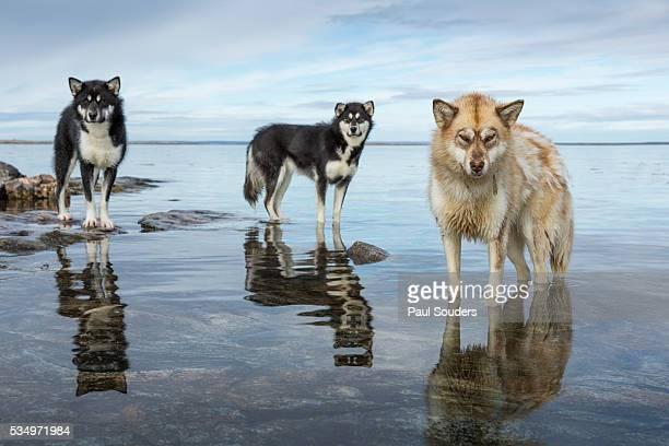 Sled Dogs, Nunavut, Canada