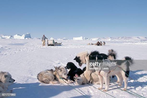 Sled Dogs Playing Around