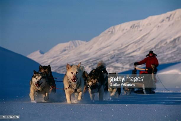 sled dogs pulling sled and musher - マラミュート犬 ストックフォトと画像
