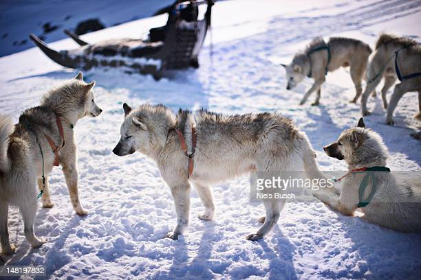 Sled dogs relaxing in snow