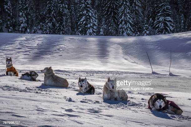 Sled Dogs Relaxing On Snow Covered Field