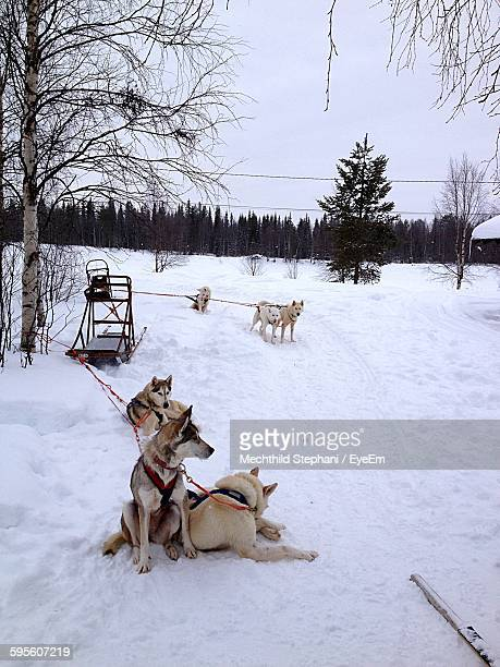 Sled Dogs Relaxing On Snowcapped Field