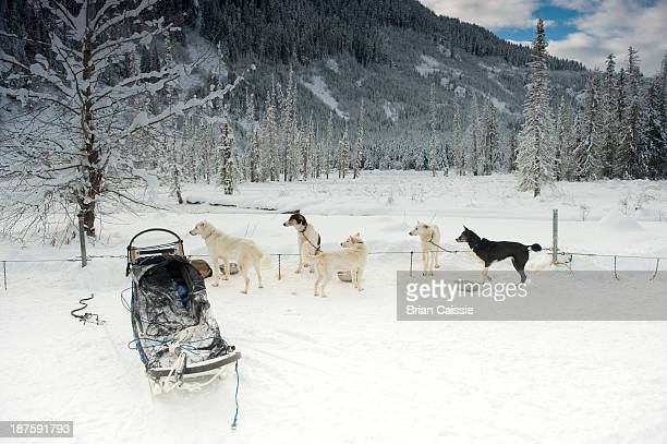 sled dogs resting and all looking at something outside of frame - endopack stock pictures, royalty-free photos & images