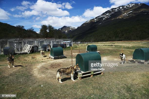 Sled dogs stand on a warm day during Ushuaia's spring season on November 8 2017 in Ushuaia Argentina Ushuaia is situated along the southern edge of...