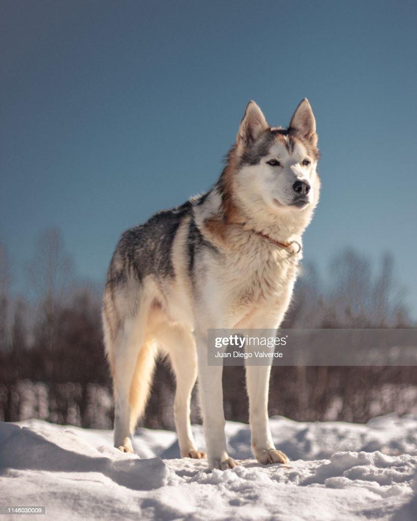 Sledding Husky : ストックフォト