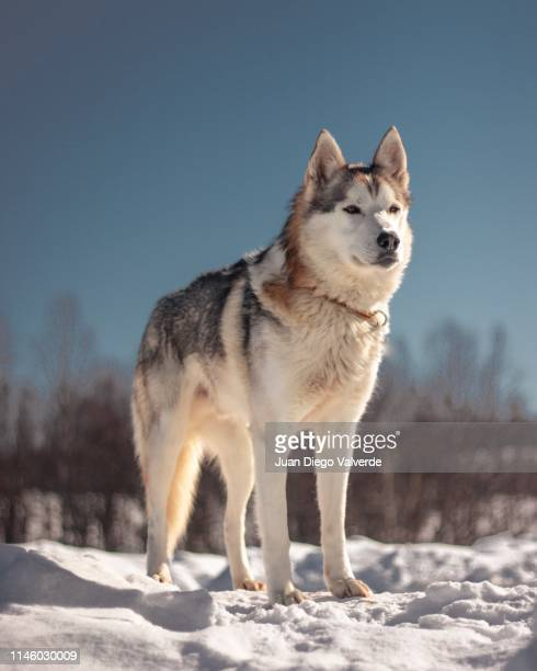 sledding husky - husky dog stock pictures, royalty-free photos & images
