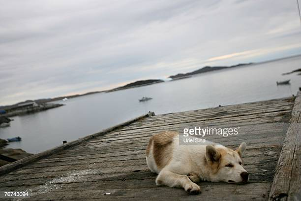 A sleddog sleeps on the pier August 27 in the village of Ilimanaq Greenland Even though the disappearing ice cap could lead to higher sea levels all...