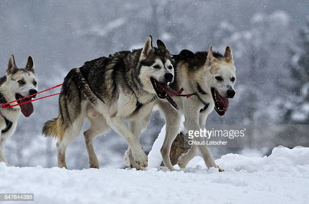 Sledog racing with Siberian Huskys