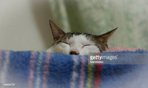 sleep cat looking so comfortable. - mamigibbs stock photos and pictures