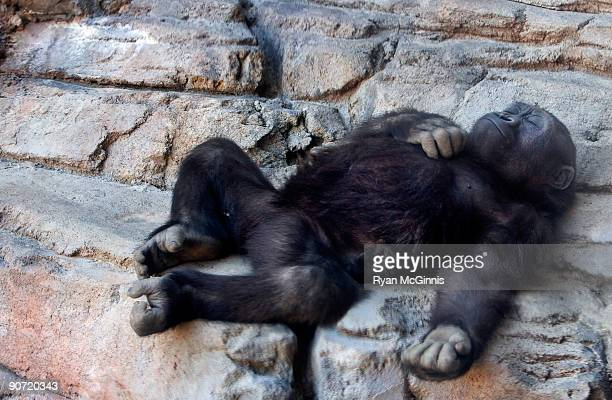 sleeping baby gorilla - ryan mcginnis stock photos and pictures