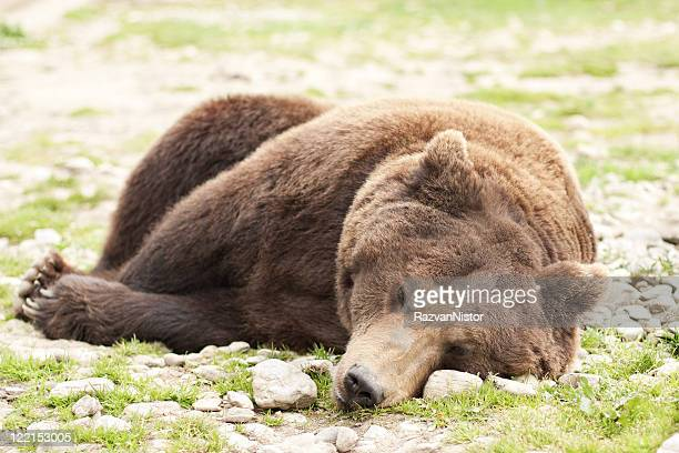 sleeping bear ursus arctos - hibernation stock pictures, royalty-free photos & images