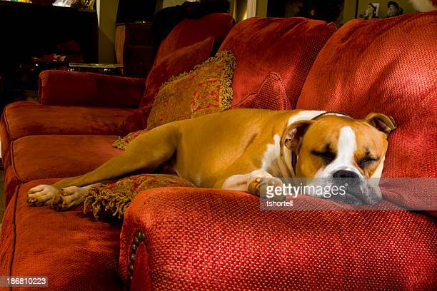 Sleeping Boxer Dog on a Couch