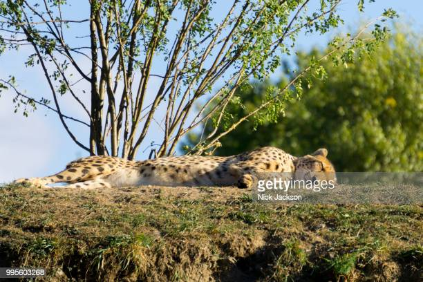 sleeping cheetah - czech hunters stock pictures, royalty-free photos & images