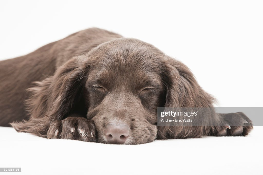Sleeping cocker spaniel : Foto de stock