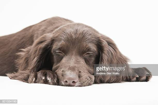 sleeping cocker spaniel - spaniel stock photos and pictures
