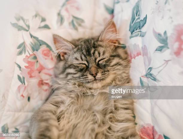 sleeping cute kitten with smile - shorthair cat stock pictures, royalty-free photos & images