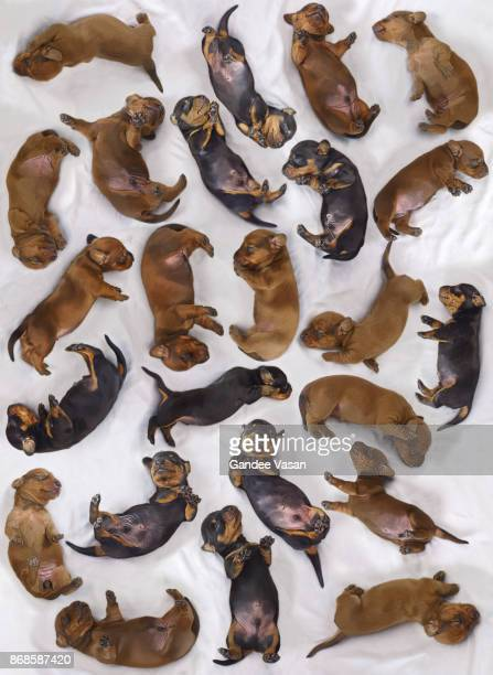 Sleeping Dashchund Puppies