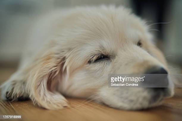 sleeping dog at home. head of golden retriever dog. - cute stock pictures, royalty-free photos & images