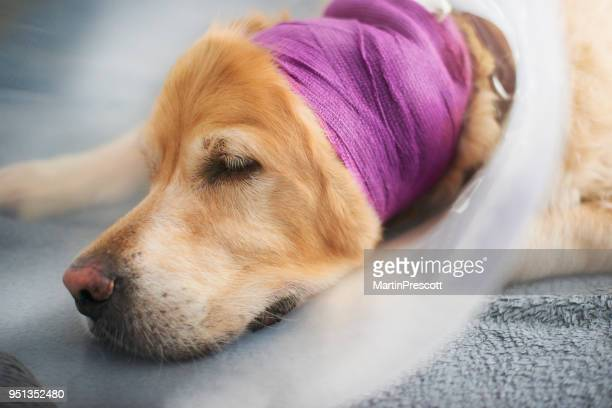 sleeping dog in bandage and collar - head bandage stock photos and pictures