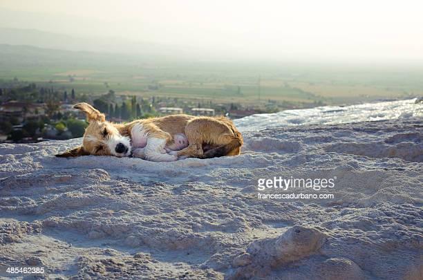 Sleeping dog in Pamukkale