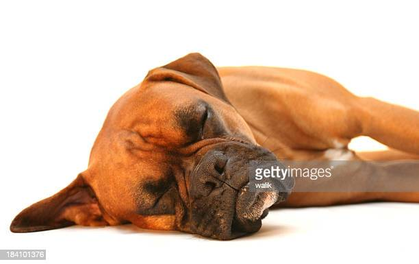 sleeping dog - boxer dog stock pictures, royalty-free photos & images
