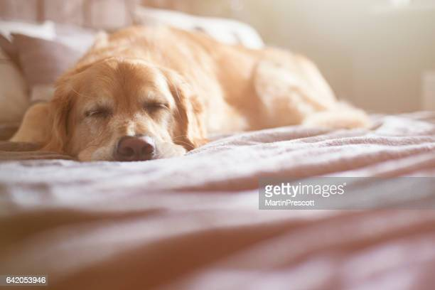 sleeping dog - dogs stock photos and pictures