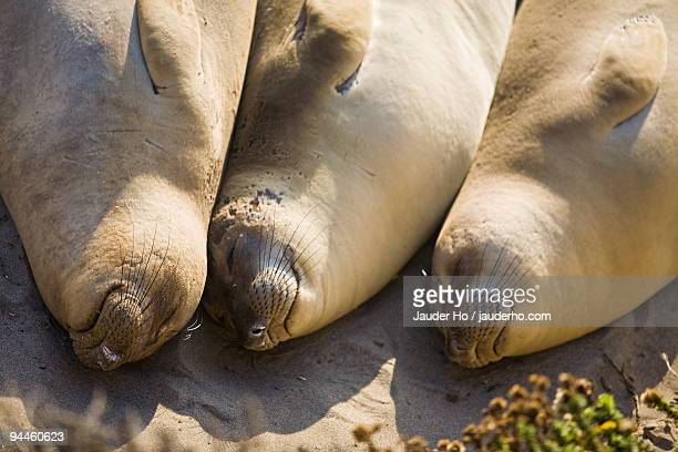 Sleeping Elephant Seals