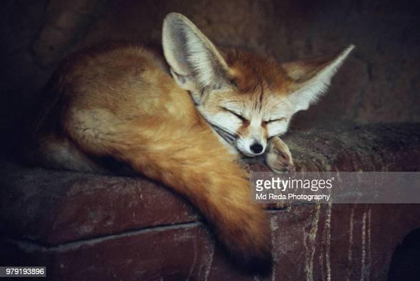 a sleeping fennec fox. - fennec photos et images de collection