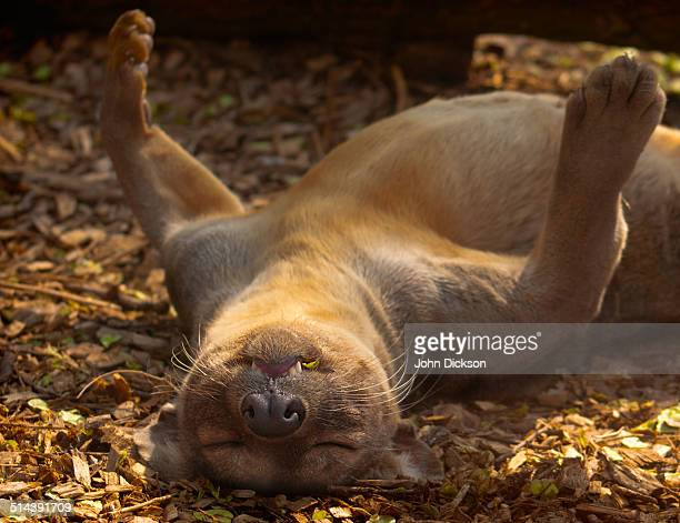 a sleeping fossa - fossa stock photos and pictures