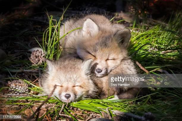 sleeping fox kits - グランドティトン国立公園 ストックフォトと画像