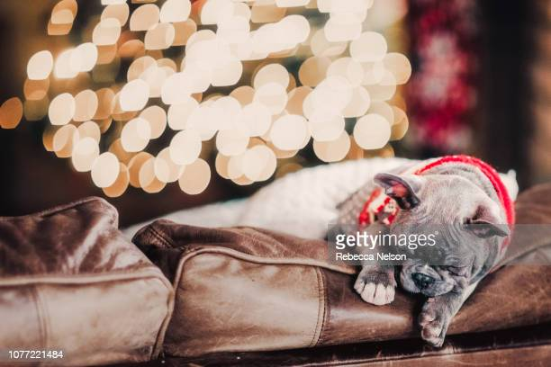 sleeping French Bulldog wearing red sweater by Christmas tree