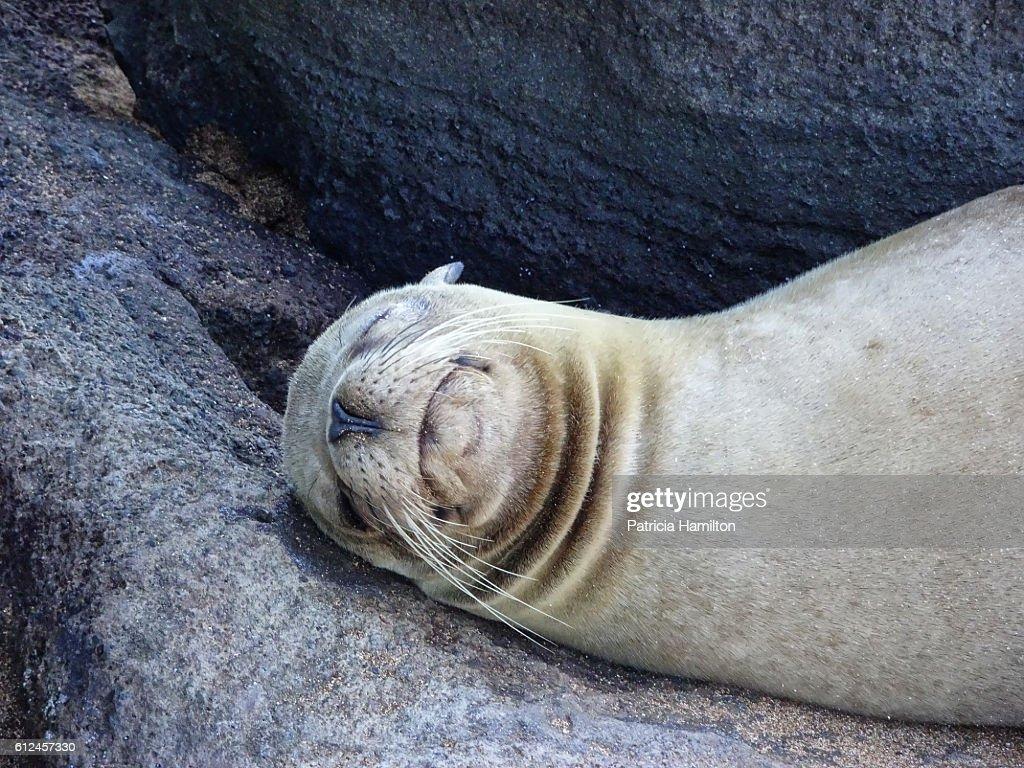Sleeping fur seal, Galapagos : Stock Photo