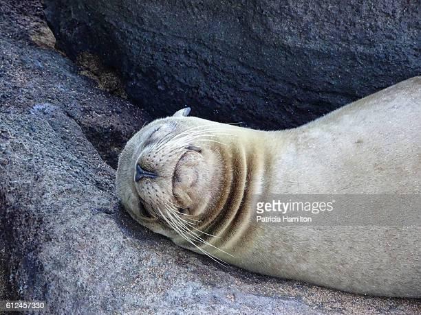 Sleeping fur seal, Galapagos