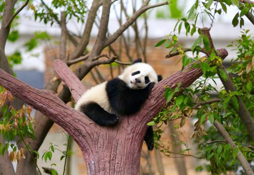 Sleeping giant panda baby 475776099