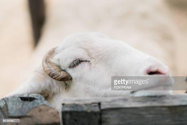 Sleeping Goat